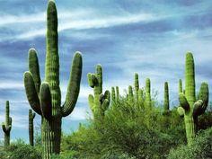 SAGUARO O CACTUS GIGANTE. Nonostante sia un cactus, il Saguaro viene considerato per molti aspetti un albero, per il suo fusto unico, per il diramarsi di rami, per la sua altezza. Fa parte della famiglia arborea delle Cactaceae, originarie delle Americhe.