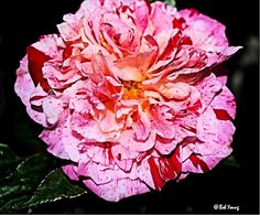 From our garden - Rockin' Robin rose