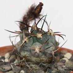 Cactus y suculentas identificación