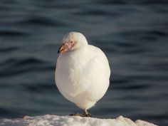 Snowy (Pale-faced) Sheathbill (Chionis albus) have very steady feet.