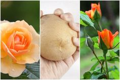 Rózsa szaporítása krumpliban