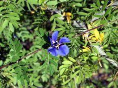 Sonoran Guayacán (Guaiacum coulteri), a tall shrub, which can be trained into a small tree, with bold, violet blue flowers