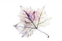 Photo of the drawing of a transparent maple leaf in false color with variable depth of field Stock Photo