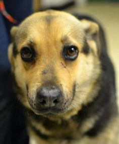 Cleveland Animal Control / Rescue Only FacilityCleveland, OH    K-10 Maggie May  4-5 yr old female Shepherd mix. HEARTWORM POSITIVE. Poor Maggie May, came to us after being attacked by another dog, she has a little cut right there under her eye, and one on her ear. She is fearful of other dogs, She is very sweet and shy. best in a quiet home  ClevelandAcVolunteer@Gmail.Com    http://www.facebook.com/photo.php?fbid=626069700741493=a.614749088540221.1073741830.250169258331541=1=nf