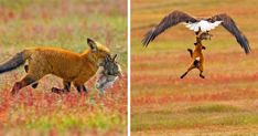 Photographer shoots epic battle between fox and eagle over rabbit Wildlife Photography, Animal Photography, Photography Portraits, Animals And Pets, Cute Animals, Wild Animals, Young Fox, Fox And Rabbit, Red Fox