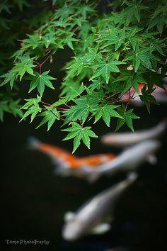 Japanese maple and Koi (colored carp), Suwa shrine,Nagasaki, Japan