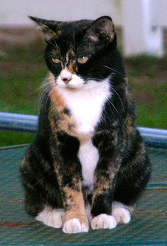 "Lost female torti/calico cat in Conroe, TX. Lost in Crighton Woods subdivision. Bubbie is 10 years old and is thin. She throws up a lot. She answers to ""Little Girl"" or ""Bubbie"". (281) 413-6559 E-mail	pamdeneve@gmail.com"