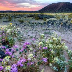 Venture into a stunning mosaic of rugged mountain ranges ancient lava flows and spectacular sand dunes at #MojaveTrails National Monument in California. Visit now to witness an early spring #superbloom. Amboy Crater currently has #wildflowers stretching out to the horizon in a stunning natural display. #MeetUsonRoute66 to see it for yourself this Saturday at 4:30 pm PT during an InstaMeet at #Californias Amboy Crater. Photo by Bob Wick @mypubliclands. #usinterior #trackthebloom