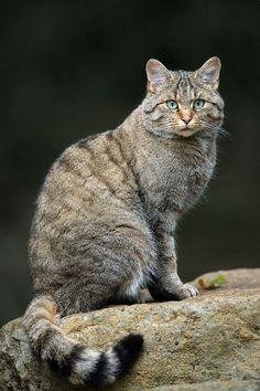 Chat sauvage (Felis silvestris) Le Felis silvestris est tout simplement le chat sauvage lambda, c'est le plus proche cousin de votre compagnon de canapé (Felis silvestris catus). Il n'y a quasiment pas de différences entre votre greffier et celui que vous pourrez croiser dans les forêts. On en trouve partout en Afrique, Asie et Europe (sauf en Russie).
