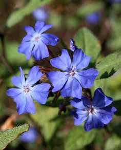 Ceratostigma,buy Griffith's Blue Leadwort for sale,New Plant-Plant Delights Nursery, Inc.