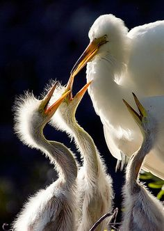 """Backlit Chicks"" - Egret and her young - Flickr Photo Sharing"