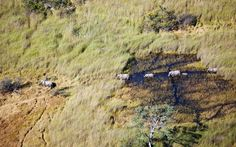 An aerial view of African elephants in the Okavango Delta, Botswana