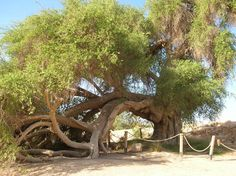 olive tree in biblical times | Ancient jujube tree - believed to be one of the oldest trees in Israel