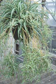 Medium Light house plant. Chlorophytum will adapt to every environment.