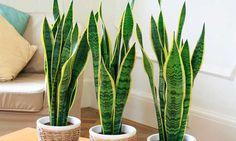 Espada de São Jorge é uma das plantas para decorar o apartamento com muita elegância e bom gosto