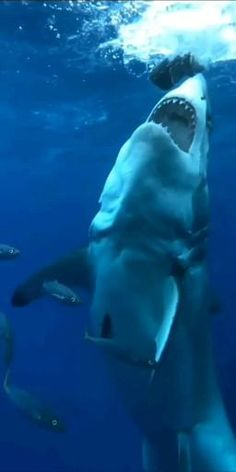 Shark Gif, Big Shark, Cute Shark, Great White Shark, Shark Pictures, Shark Photos, Cute Animal Pictures, Nature Animals, Animals And Pets
