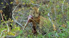 (7) Twitter National Geographic Wild, African Safari, Panther, Animals, Live, Twitter, Animales, Animaux, Panthers