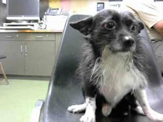 DEVORE,CA. EUTH LIST. 11/02/17. Nicholas ID#A684503. 3 yr. old male Terrier mix. Rescue only. Possible fear biter. Arrived 10/28/17.