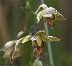 Although the stream orchid is not a rare flower, it is an unusual find in Death Valley.