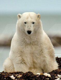 Polar bears | Polar Bear Migration Fly-In Photo Safari | Arctic Kingdom Polar ...