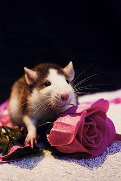 Ratte und Blume = meine beiden Leideschaften