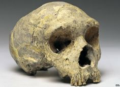 Gibraltar a skull from an adult female Neanderthal, is on display at the Natural History Museum. Human Fossils, Human Dna, Skull Pictures, Archaeology News, Human Evolution, Natural History Museum, British Museum