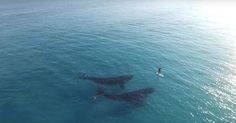 Footage taken via drone shows stunning scenes of a lone paddle boarder having a rare encounter with two majestic whales.