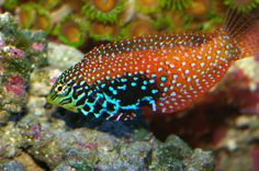 Wrasse fish - Google Search