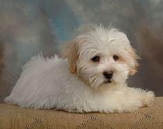 coton+de+tulear+puppy+cut | Coton De Tulear Puppy Cut Puppy coton de tulear 5