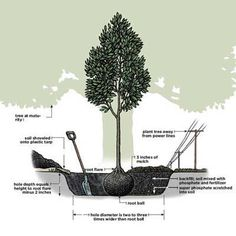 "How to Plant a Tree - the PROPER way. [Surprisingly, tree planting is often done incorrectly, says Roger. ""I see improperly planted trees all the time, many of them put in by professional landscapers.""] art design landspacing to plant Trees And Shrubs, Trees To Plant, Tree Planting, Garden Trees, Lawn And Garden, Landscape Design, Garden Design, Tree Care, Interior Exterior"