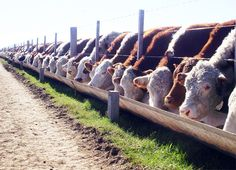 Porqué los corrales de EE.UU. terminan animales de más de 600 kg con una mejor eficiencia de conversión que los nuestros, aún sin utilizar promotores de crecimiento. Juan Elizalde plantea algunas claves para avanzar y engordar novillos más pesados, a Cattle Barn, Beef Cattle, Cattle Ranch, Cattle Farming, Goat Farming, Sheep Feeders, Hereford Cows, Cattle Drive, Showing Livestock