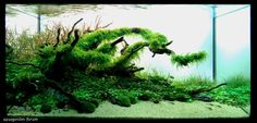 The International Aquatic Plants Layout Contest 2011 « Acuario Rosa