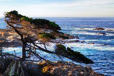 Cypress at Point Lobos