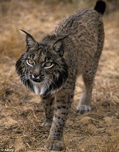 Iberian Lynx. Critically endangered.