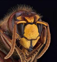 www.photomacrography.net :: View topic - Vespa crabro, 2