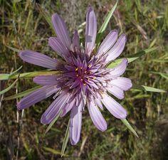 Tragopogon porrifolius flower purple Salsify