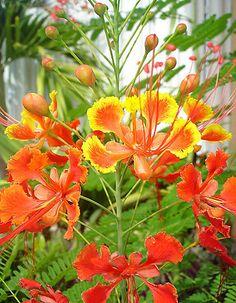 12 orange & yellow Caesalpina pulcherrima PRIDE OF BARBADOS Flamboyant SEEDS  FREE SHIPPING