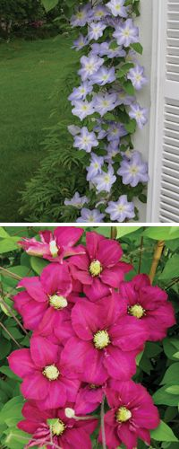 Grow these 'Top to bottom' clematis in early spring and the flowers will grow all over them. Backyard Ideas, Garden Ideas, Plants For Small Gardens, Clematis Plants, Early Spring, Dream Garden, Vines, Seeds, Outdoors