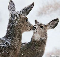 Have you seen many deer in your habitat this winter? Jeanette Tasey took this photo of a mule deer grooming her fawn on a cold morning in Campbell. Animals And Pets, Baby Animals, Cute Animals, Bambi, I Love Winter, Animal Facts, Tier Fotos, Animals Beautiful, Pet Birds