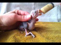 Nourrir des perruche à collier une tête de prune à la seringue - YouTube