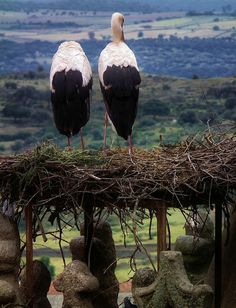 LASTING LOVE  STORKS IN TRUJILLO, EXTREMADURA,  Spain