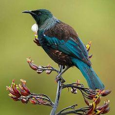 #tui #newzealand . Bird Line Drawing, Tui Bird, Zealand Tattoo, Nz Art, Animal Sketches, Bird Pictures, Exotic Birds, Glass Birds, Wildlife Art