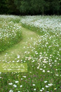 Wildflower meadow with mown path and ox eye daisies. June Wildflower meadow with mown path and ox eye daisies. June The post Wildflower meadow with mown path and ox eye daisies. June appeared first on Miniature Garden.
