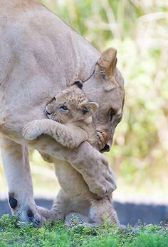58 Trendy Baby Animals With Mom Big Cats Big Cats, Cats And Kittens, Cute Cats, Siamese Cats, Cute Baby Animals, Animals And Pets, Funny Animals, Wild Animals, Beautiful Cats