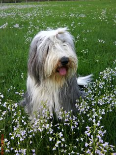 Betty on www.yumypets.com, Bearded collie