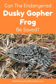 Can the endangered dusky gopher frog be saved? - The Homeschool Scientist - endangered species Science Activities, Teaching Science, Zoology, Endangered Species, Animals For Kids, Homeschool, Canning, Frogs, Inktober