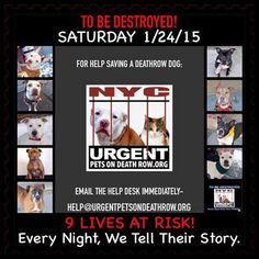TO BE DESTROYED: 9 beautiful dogs to be euthanized by NYC ACC- SAT. 01/24/15. This is a VERY HIGH KILL shelter group. YOU may be the only hope for these pups! ****PLEASE SHARE EVERYWHERE!!!To rescue a Death Row Dog, Please read this:  http://urgentpetsondeathrow.org/must-read/    To view the full album, please click here:    https://www.facebook.com/media/set/?set=a.611290788883804.1073741851.152876678058553&type=3