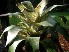 Bromeliad: Vriesea 'Royal Hawaiian' - enjoying a spot of filtered sunlight before the next downpour!