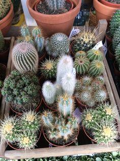 Cactussen!