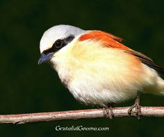 Red-backed Shrike #bird #wildlife #nature #gratefulgnome